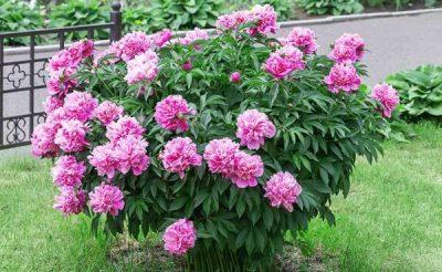 گل صد تومانی یا پائونیا