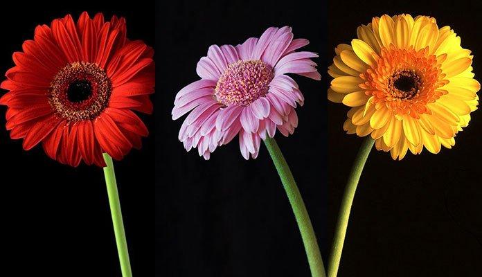 گل ژربرا Gerbera به همراه شیوه نگهداری و تکثیر آن
