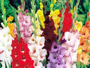 گل گلایل