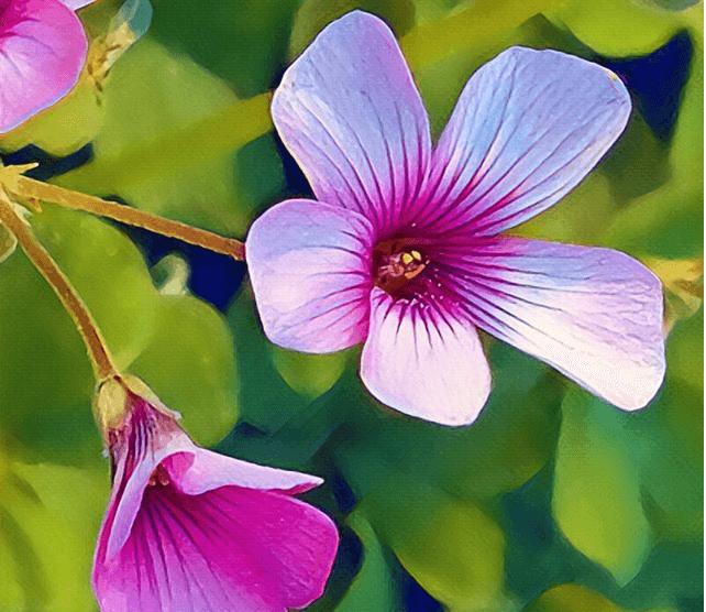 السترومریای ارکیده ای Alstroemeriaorchidioides