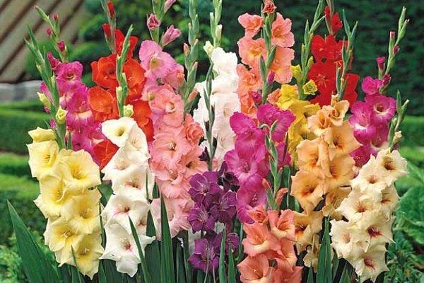 گل گلایول