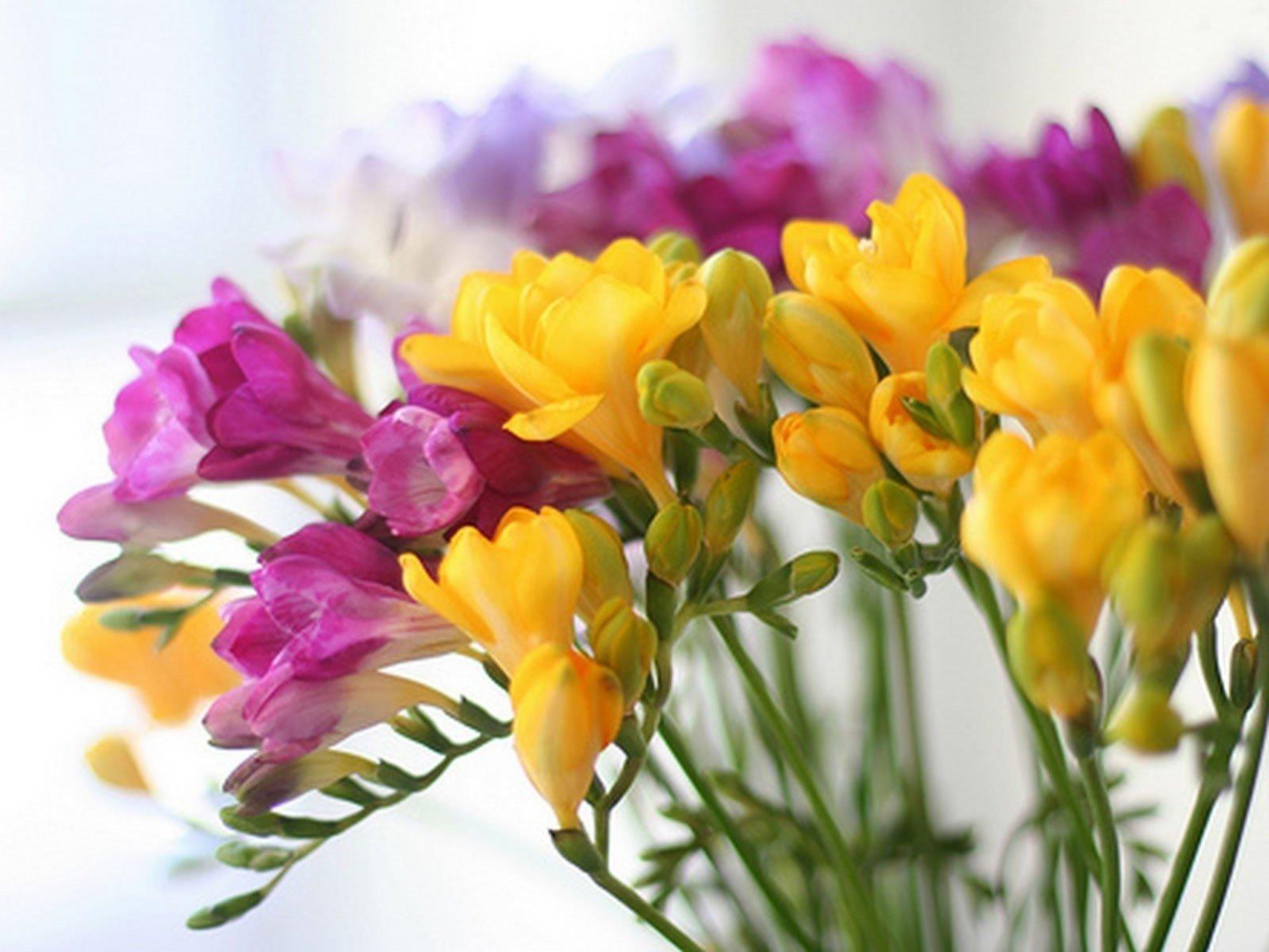 گل خوشبویی به نام گل فرزیا Freesia