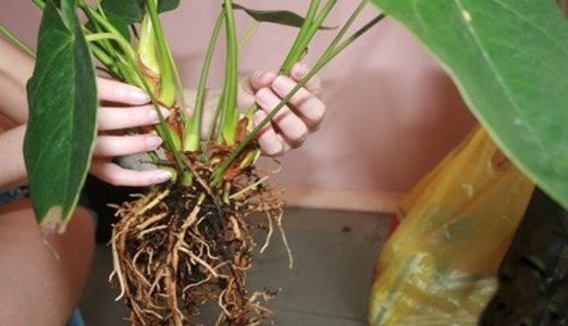 گل آنتریوم Anthurium