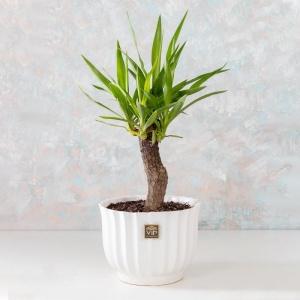 گلدان آپارتمانی یوکا- گلفروشی آنلاین VIP Shop