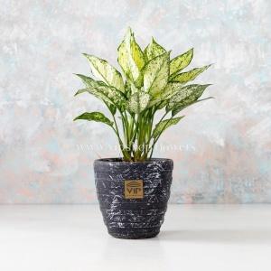 گلدان آپارتمانی آگلونما برفی- گلفروشی آنلاین VIP Shop