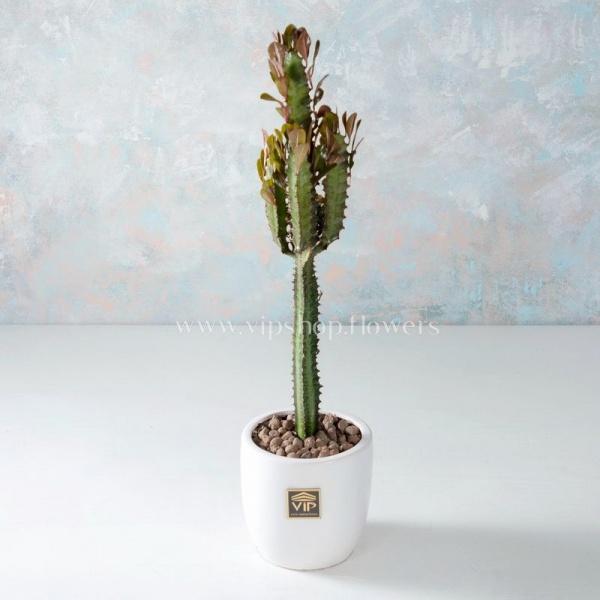 گیاه آپارتمانی افوربیا- گلفروشی آنلاین VIP Shop