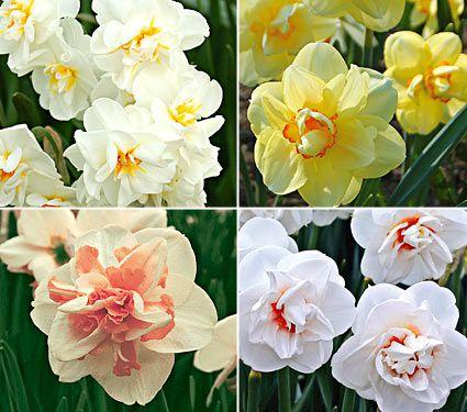 انواع گل نرگس