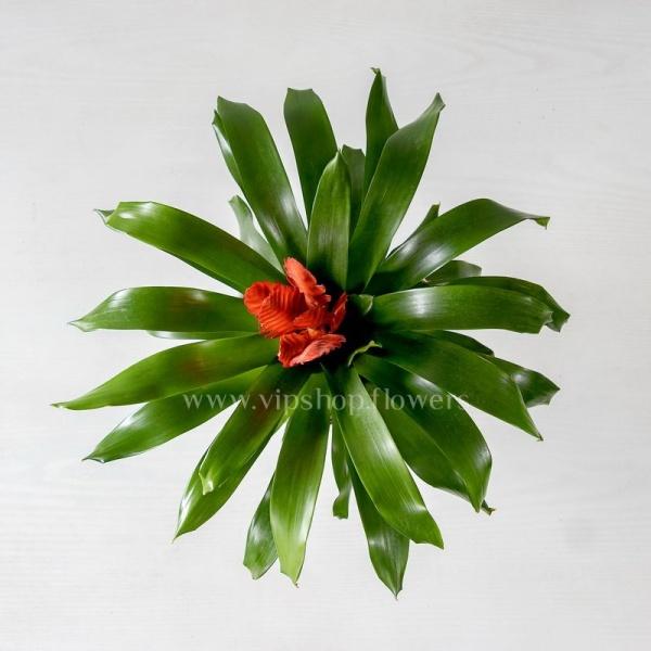 گلدان آپارتمانی گازمانیا- گلفروشی آنلاین VIP Shop