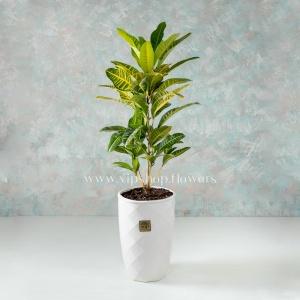 گلدان آپارتمانی کروتون- گلفروشی آنلاین VIP Shop