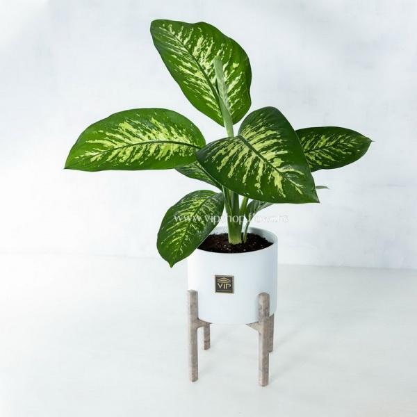 گیاه آپارتمانی دیفن باخیا- گلفروشی آنلاین VIP Shop