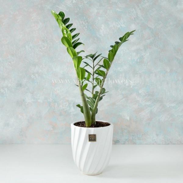 گلدان آپارتمانی زاموفیلیا- گلفروشی آنلاین VIP Shop