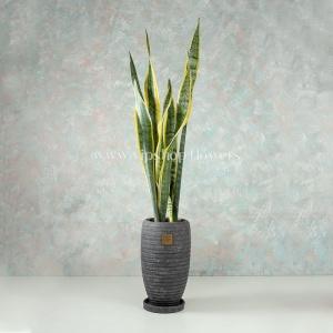 گلدان آپارتمانی ساسوریا- گلفروشی آنلاین VIP Shop