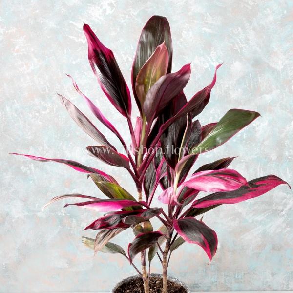 گلدان آپارتمانی کوردیلین- گلفروشی آنلاین VIP Shop
