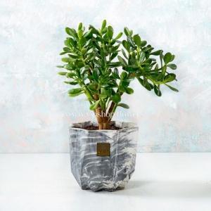 کراسولا آواتا- گل و گیاه آنلاین- گلفروشی آنلاین VIP Shop