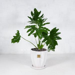 گیاه آپارتمانی برگ انجیری- گلفروشی آنلاین VIP Shop