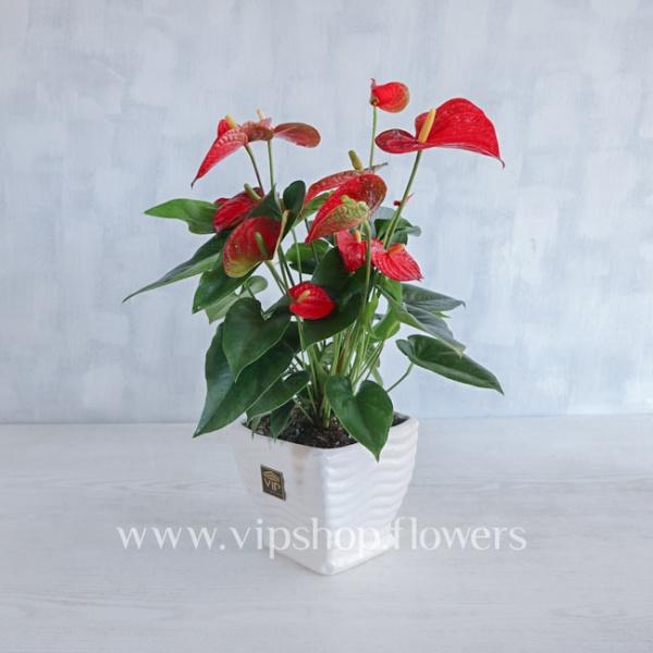 گلدان آپارتمانی گل آنتوریوم