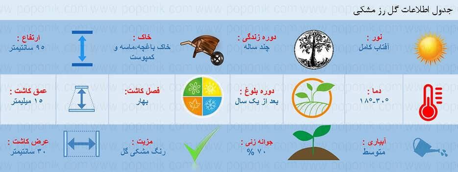 اطلاعات گل رز مشکی