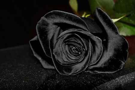 گل سیاه