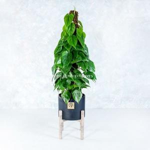 گلدان آپارتمانی پتوس- گلفروشی آنلاین VIP Shop