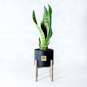 گلدان آپارتمانی سانسوریا کراواتی ابلق- گلفروشی آنلاین VIP Shop
