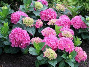 گل هورتانسیا