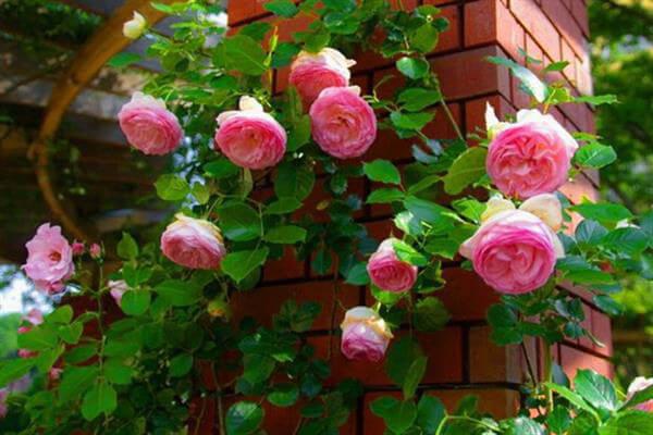 گل رز و محمدی