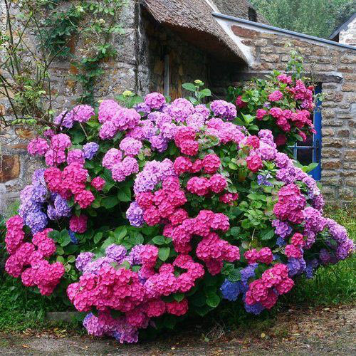 گل های هورتانسیا