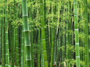 بامبو ، درخت بامبو ، خرید گل