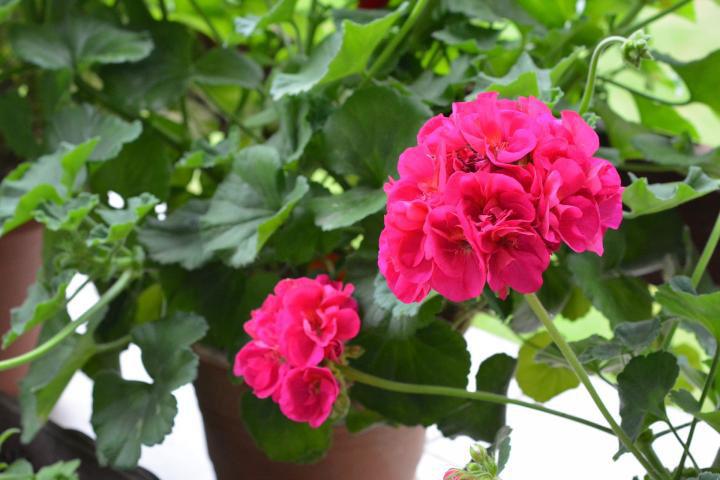 گل شمعدانی