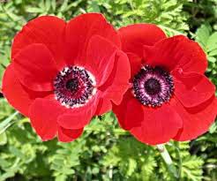 گل شقایق سرخ