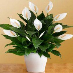 گل چمچمه ای و یا برگ قاشقی