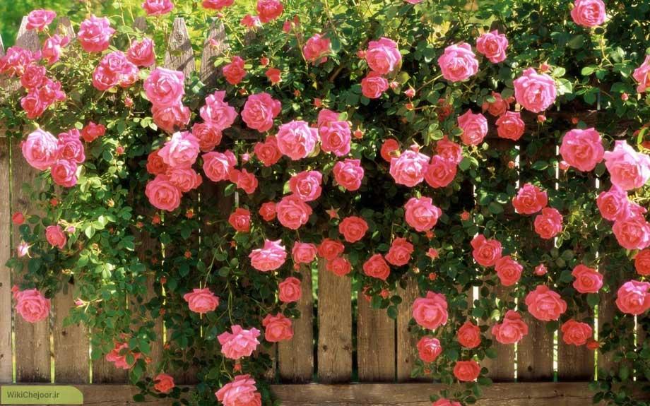 خواص گل محمدی؛ به همراه عوارض و مضرات گل محمدی