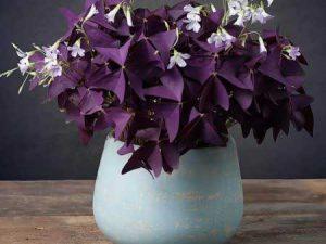 گل شبدر زینتی