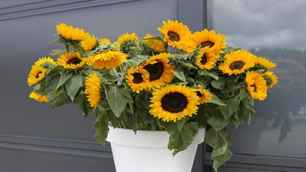 گلدان آفتابگردان