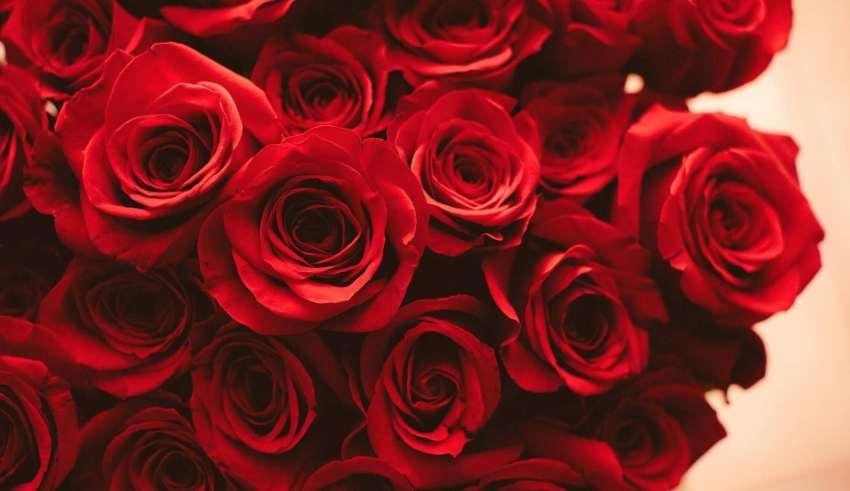تفاوت گل سرخ با گل رز + تاریخچه و رنگ شناسی