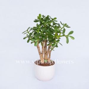 گیاه آدنیوم- گلفروشی آنلاین VIP Shop