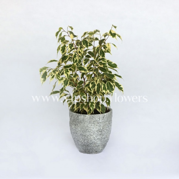 گلدان آپارتمانی بنجامین ابلق (کد 010)