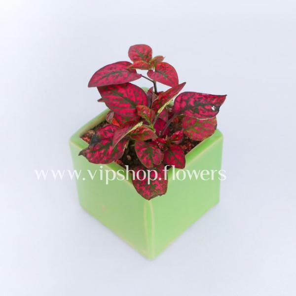 گلدان آپارتمانی گلسنگ صورتی (کد 013)