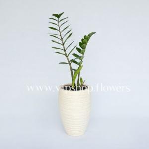 گلدان آپارتمانی زامو فیلیا (کد 002)