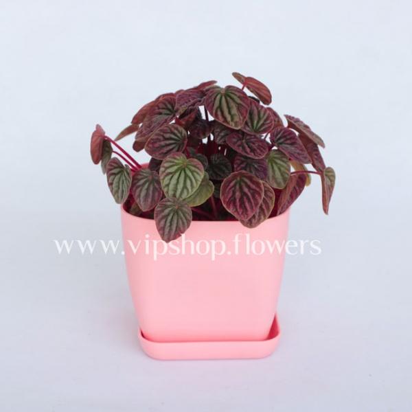 گلدان آپارتمانی پیرومیا (کد 014)