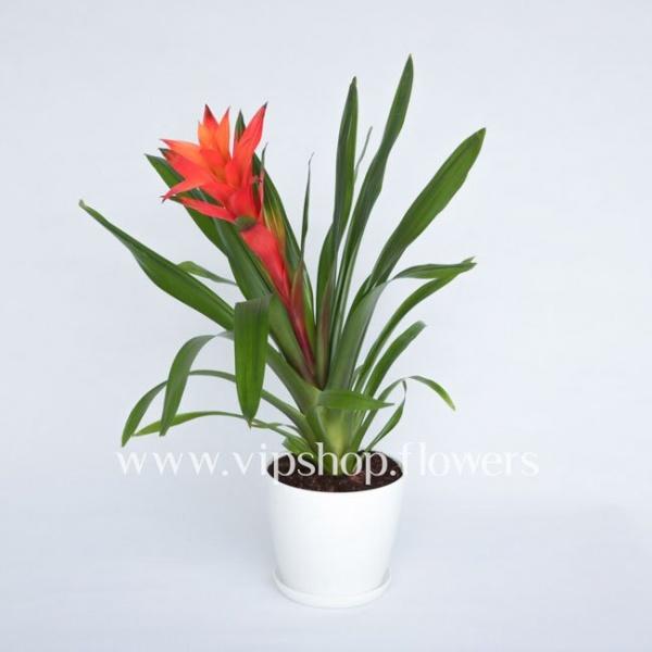گلدان آپارتمانی گازمانیا (کد 003)