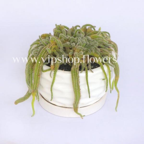 گلدان آپارتمانی کاکتوس ماری (کد040)