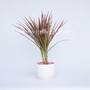 گلدان آپارتمانی دراسینا (کد004)