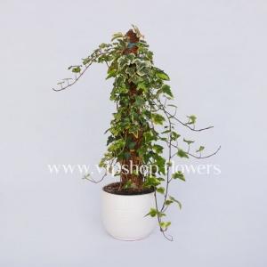 گلدان آپارتمانی پاپیتال چوبدار (کد 020)