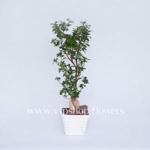 گلدان آپاتمانی بونسایآفریقایی (کد 005)