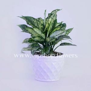 گلدان آپارتمانی آگلونما (کد 008)