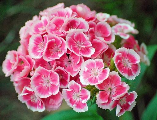 گل قرنفل ، قرنفل ، گل ، خرید گل