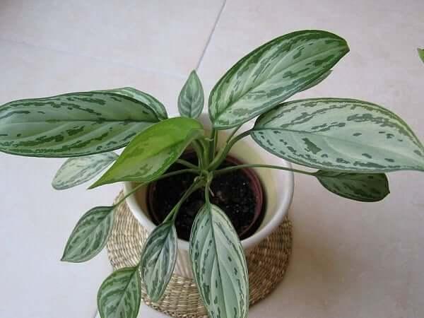 گیاه ملکه نقره ای