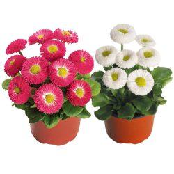 مینا ، گل مینا ، گل ، خرید گل
