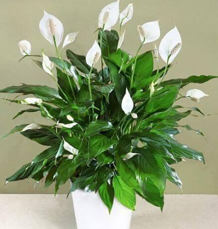 گل چمچمه ای یا برگ قاشقی